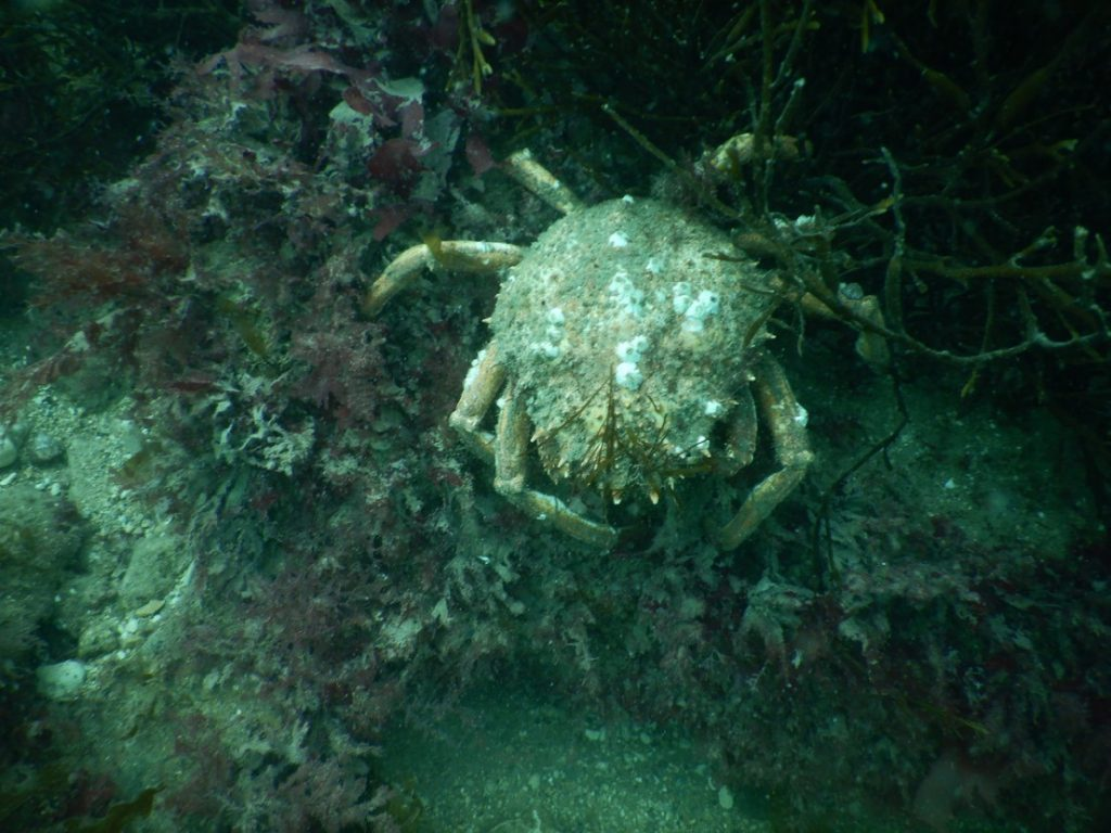 Spider Crab